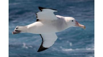 Зарождение мифа об альбатросах